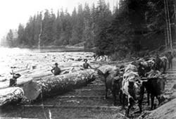 Oxen pulling logs from the water